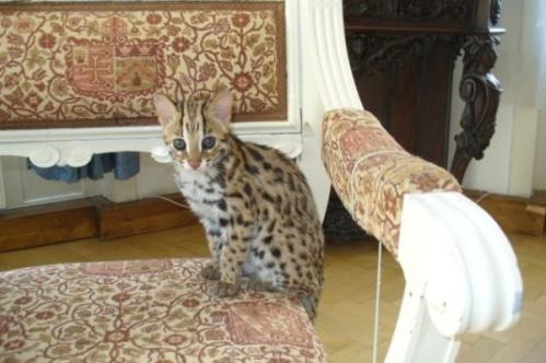 asianleopardcat001