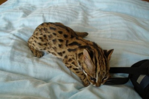 asianleopardcat002