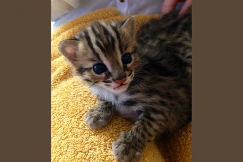 asianleopardcat009