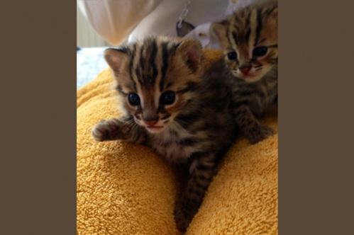 asianleopardcat010