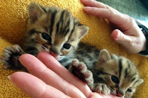 asianleopardcat013