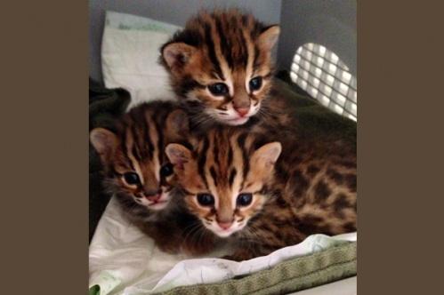 asianleopardcat014