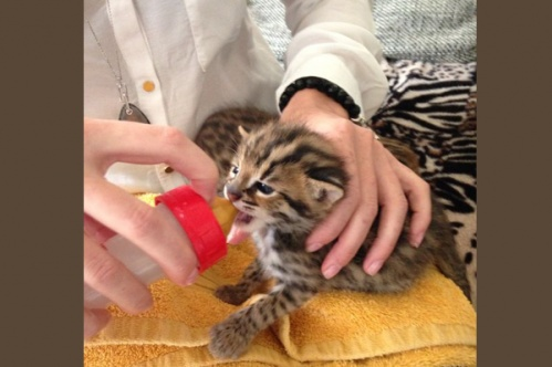 asianleopardcat015