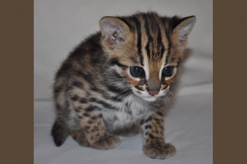 asianleopardcat016