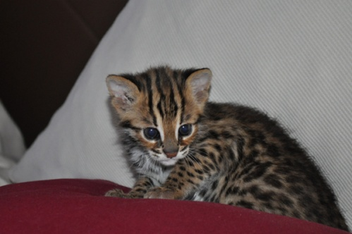 asianleopardcat017