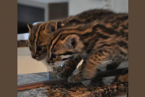 asianleopardcat018