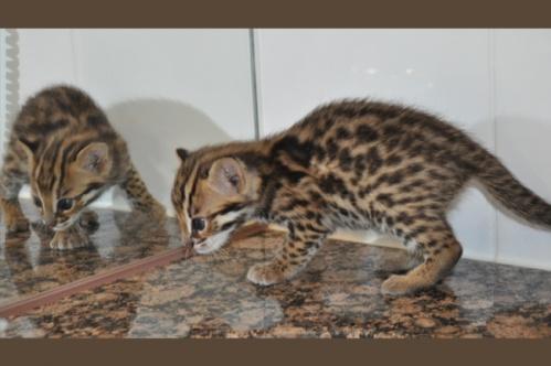 asianleopardcat019