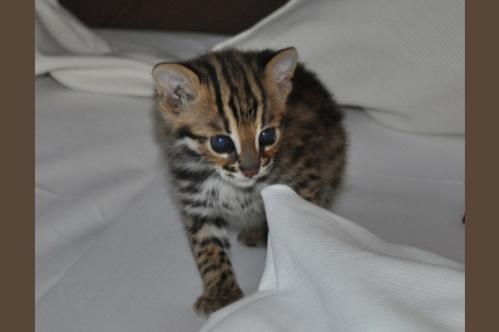 asianleopardcat020