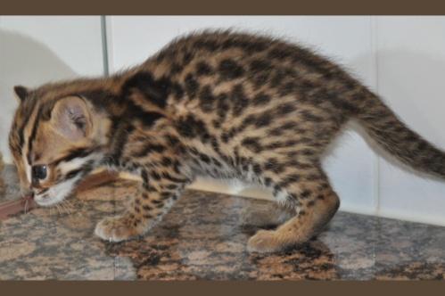 asianleopardcat021