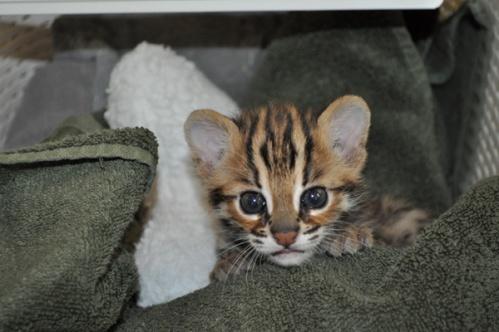 asianleopardcat025