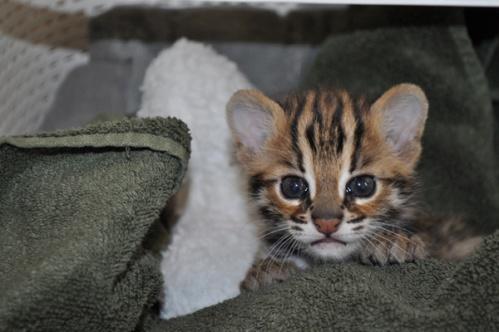 asianleopardcat026