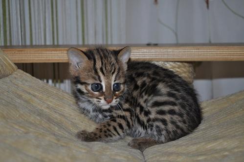 asianleopardcat031