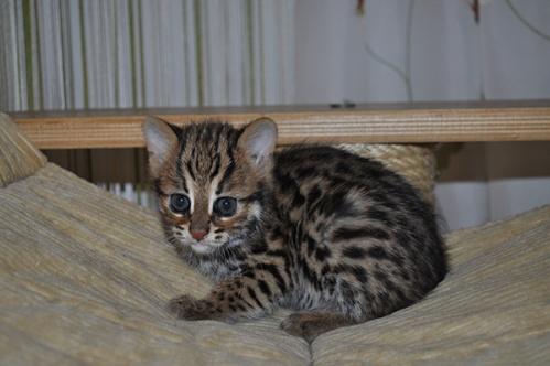 asianleopardcat032