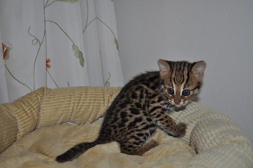 asianleopardcat033