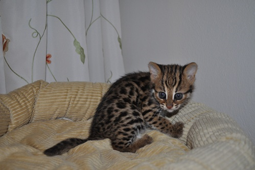 asianleopardcat034