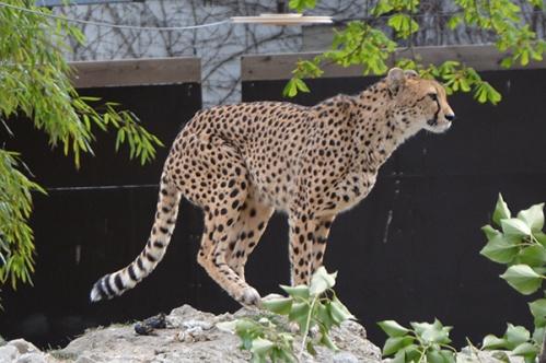 geparden001
