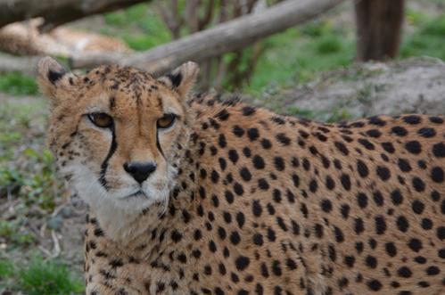 geparden002