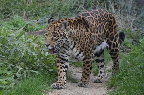 geparden003