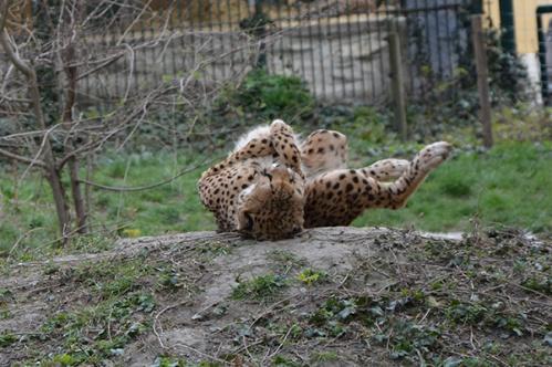 geparden005