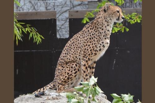 geparden007