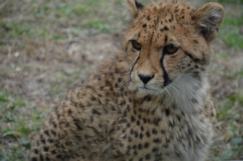 geparden009