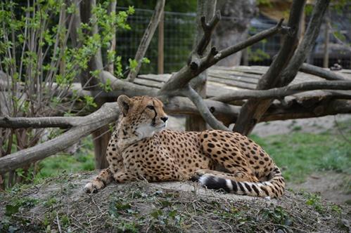geparden012