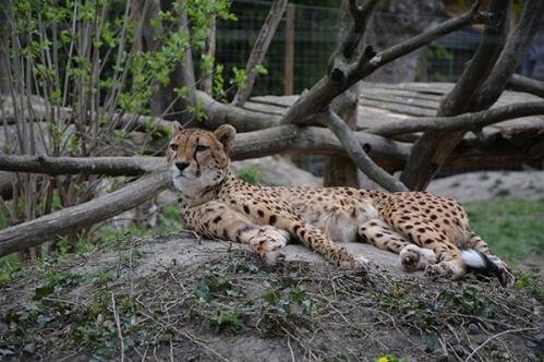 geparden017