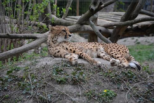 geparden018