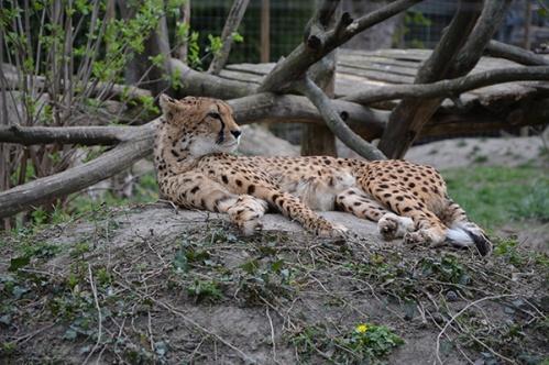 geparden019