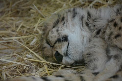 geparden022