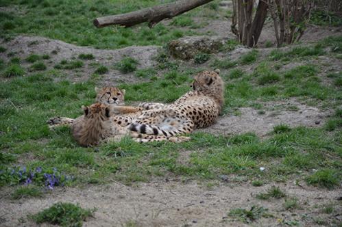 geparden025
