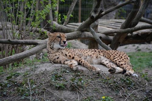 geparden027