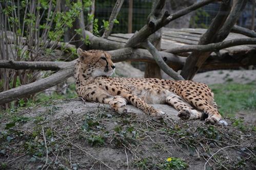 geparden028
