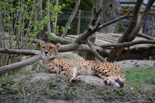 geparden029