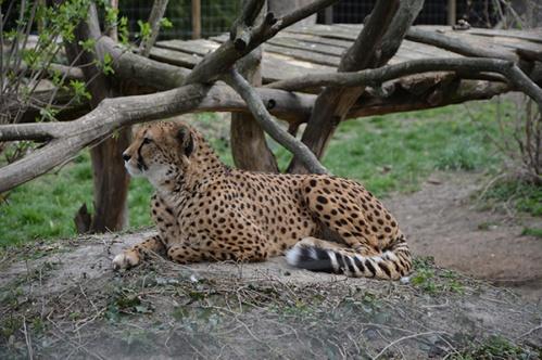 geparden030
