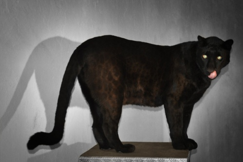 panther003