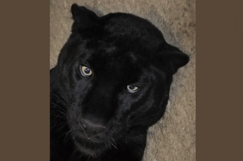 panther011