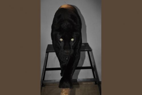 panther013