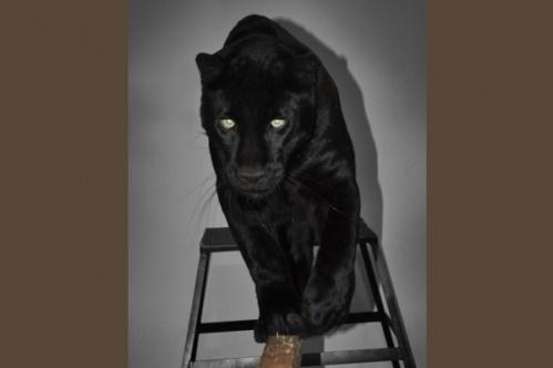 panther014