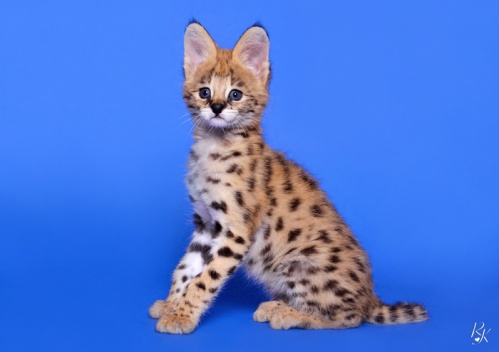 serval3ma