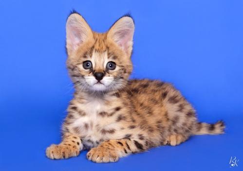 serval3mc