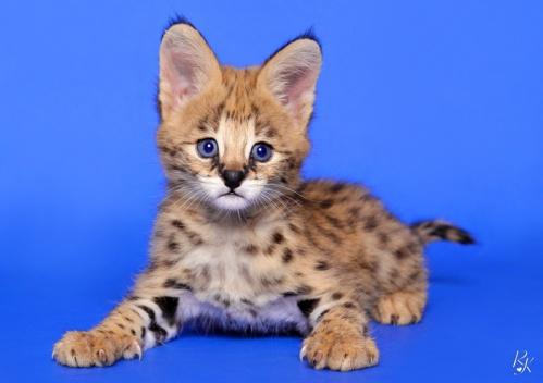 serval3md