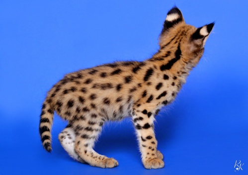 serval3mg