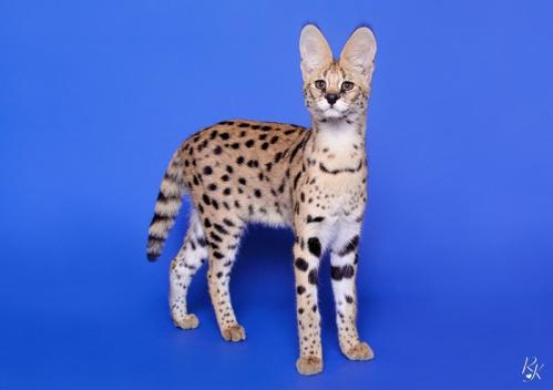 serval5ma