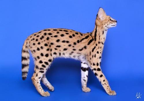 serval5mb