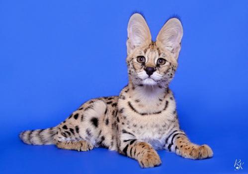 serval5mc