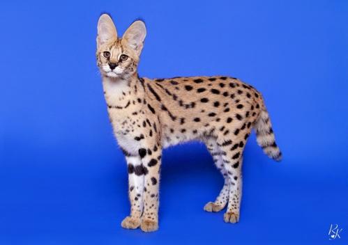 serval5me