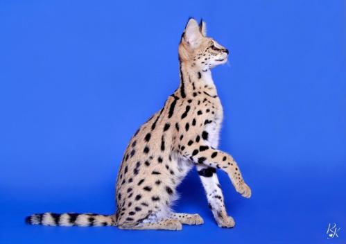 serval5mf