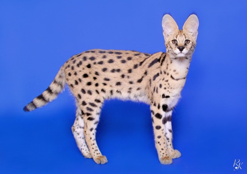 serval5mg