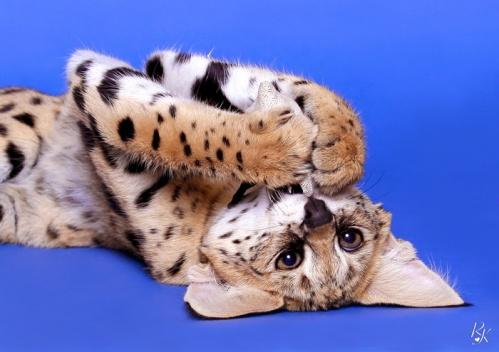 serval5mh